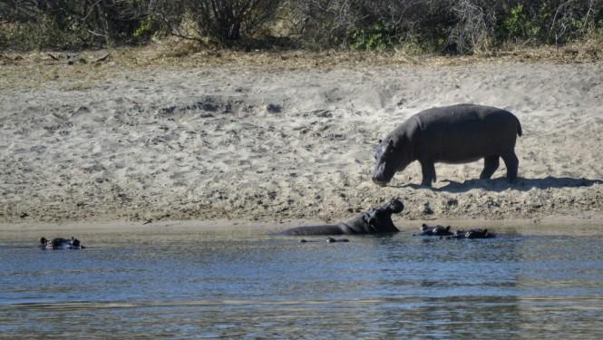 2017-06-namibia-ngepi-okavango-mokoro-09-hipopotamos.jpeg