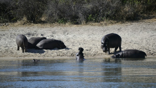2017-06-namibia-ngepi-okavango-mokoro-10-hipopotamos