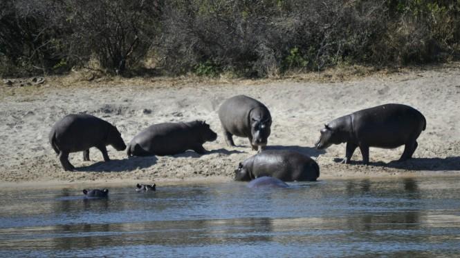 2017-06-namibia-ngepi-okavango-mokoro-11-hipopotamos.jpeg