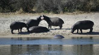 Hipopótamos en el Okavango