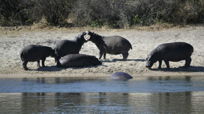 2017-06-namibia-ngepi-okavango-mokoro-12-hipopotamos.jpeg