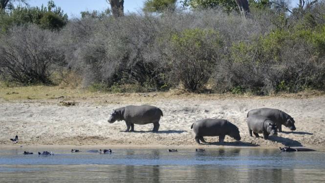 2017-06-namibia-ngepi-okavango-mokoro-14-hipopotamos.jpeg
