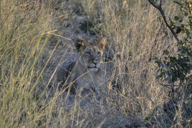 2017-06-namibia-safari-mahango-03-leona.jpeg