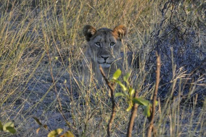 2017-06-namibia-safari-mahango-04-leona.jpeg