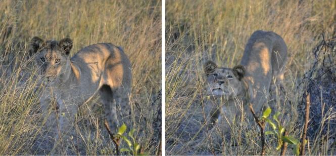 2017-06-namibia-safari-mahango-06-leona.jpeg