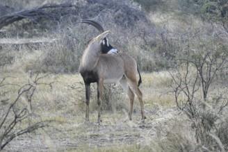 Antílope Ruano en Mahango
