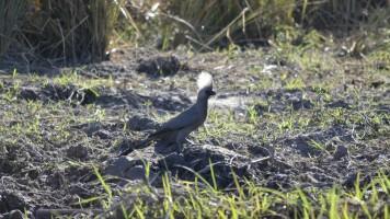 Turaco Unicolor en Mahango