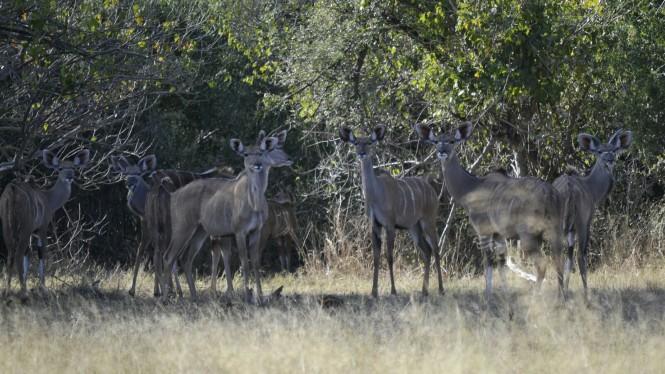 2017-06-namibia-safari-mahango-11-kudus.jpeg