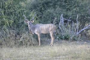 Kudu en Mahango