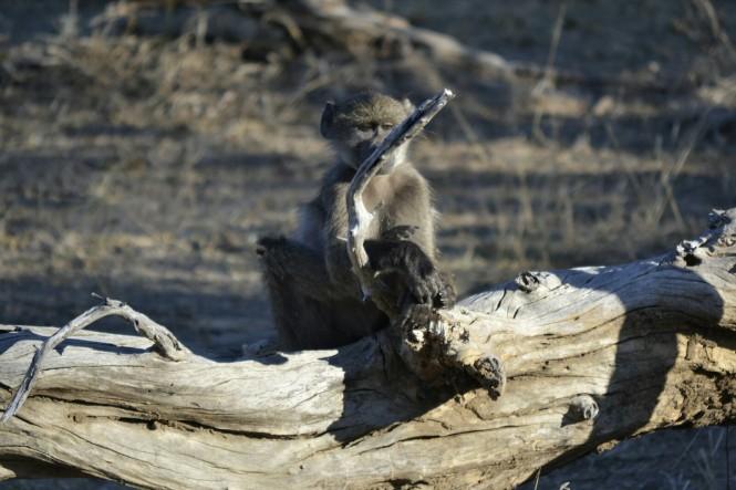 2017-06-namibia-safari-mahango-14-babuinos.jpeg