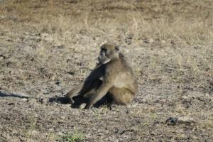 Babuino en Mahango
