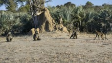 Babuinos en Mahango