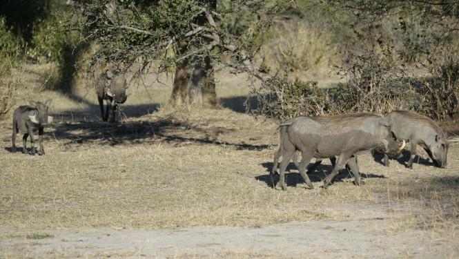 2017-06-namibia-safari-mahango-18-warthogs.jpeg