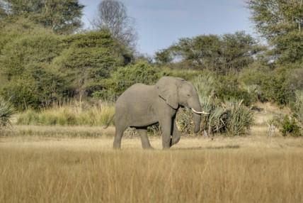 Elefante en Mahango
