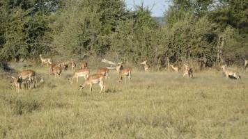 Impalas en Mahango
