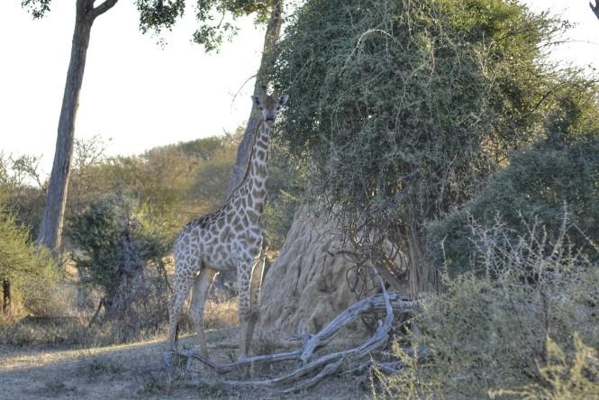 2017-06-namibia-safari-mahango-23-jirafas.jpeg