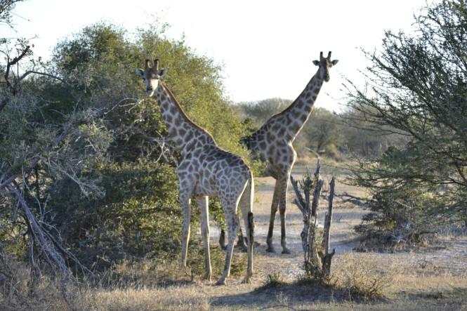 2017-06-namibia-safari-mahango-24-jirafas.jpeg