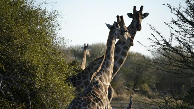2017-06-namibia-safari-mahango-25-jirafas.jpeg