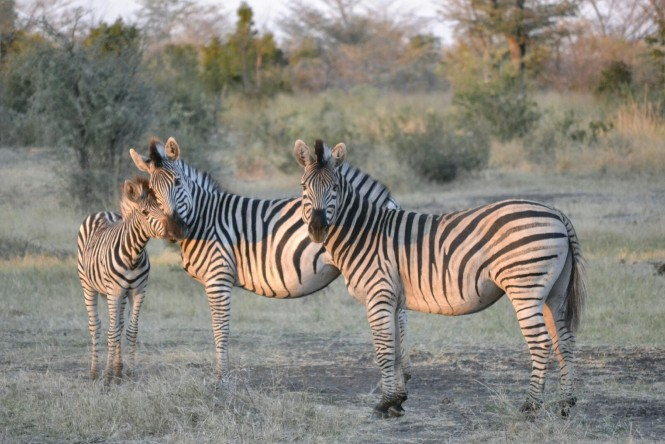 2017-06-namibia-safari-mahango-26-cebras
