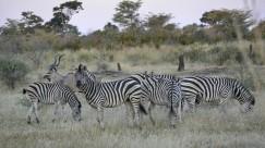 Cebras en Mahango