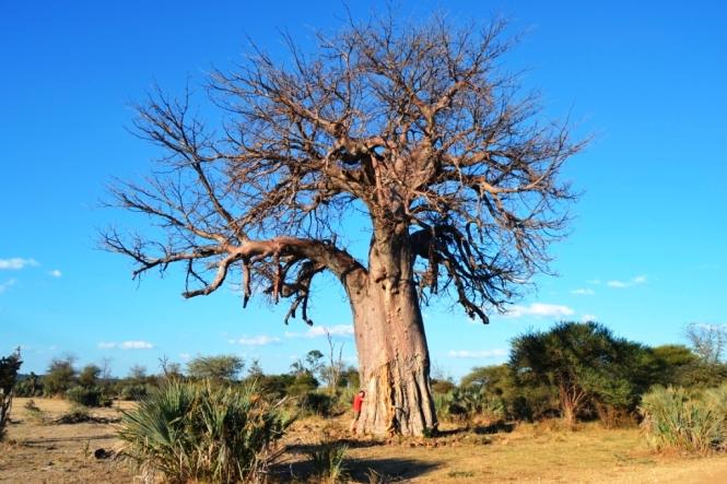 2017-06-namibia-safari-mahango-30-baobab.JPG