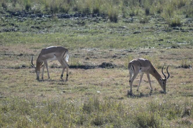 2017-06-namibia-safari-mahango-32-impalas.jpeg