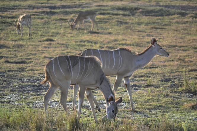 2017-06-namibia-safari-mahango-33-kudus.jpeg