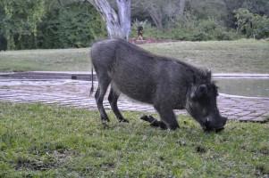Warthog (Facóquero Común) en el Waterberg Plateau