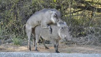 Warthogs (Facóquero Común) en el Waterberg Plateau