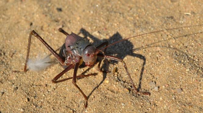 2017-06-namibia-brandberg-white-lady-campsite-4-acanthoplus-discoidalis