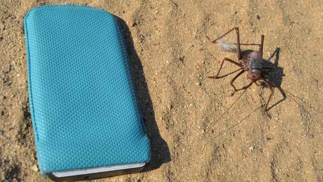 2017-06-namibia-brandberg-white-lady-campsite-5-acanthoplus-discoidalis