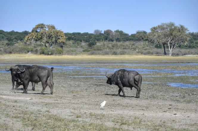 2017-06-namibia-caprivi-buffalo-core-area-bufalos-1