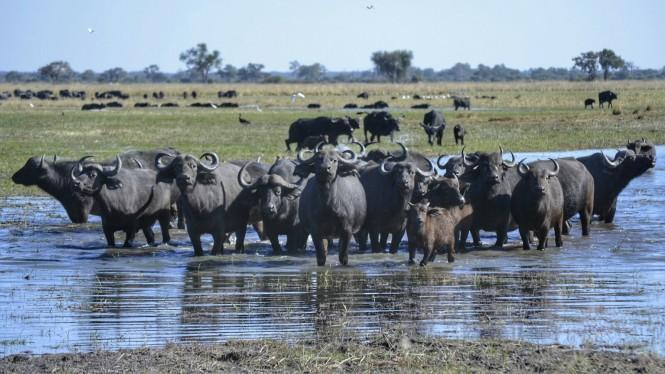 2017-06-namibia-caprivi-buffalo-core-area-bufalos-2