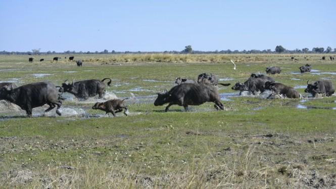 2017-06-namibia-caprivi-buffalo-core-area-bufalos-3.jpeg