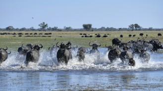Búfalos en Buffalo Core Area