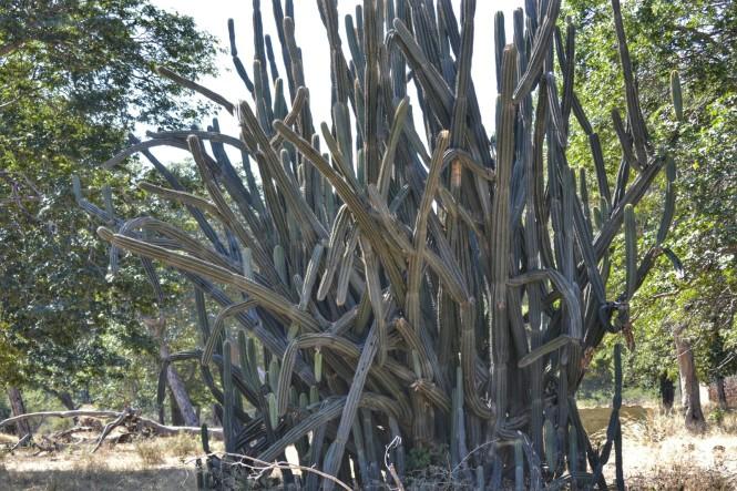 2017-06-namibia-caprivi-buffalo-core-area-cactus