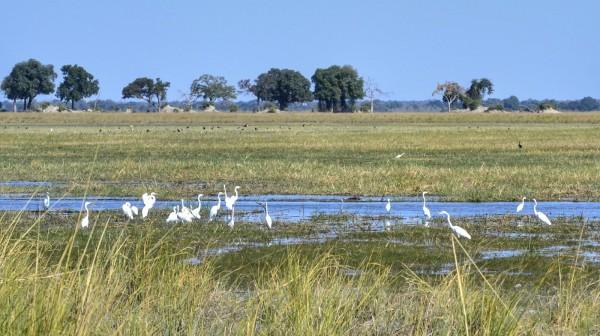 2017-06-namibia-caprivi-buffalo-core-area-egrets