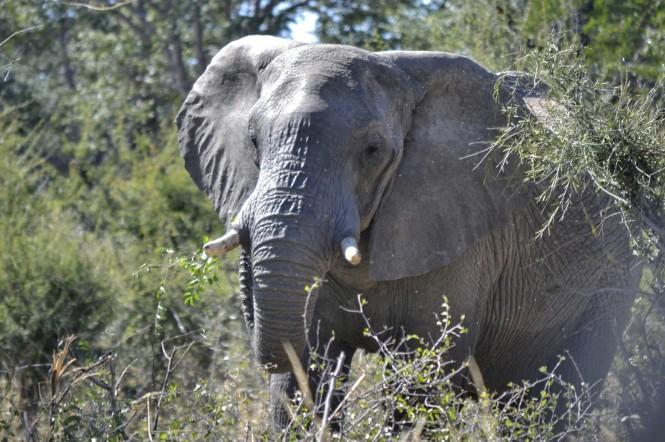 2017-06-namibia-caprivi-buffalo-core-area-elefante-2