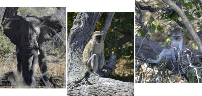 2017-06-namibia-caprivi-buffalo-core-area-elefante-monos.jpeg