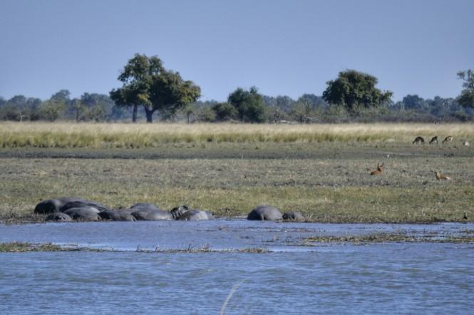 2017-06-namibia-caprivi-buffalo-core-area-hipopotamos-1