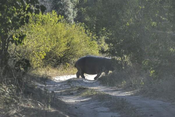 2017-06-namibia-caprivi-buffalo-core-area-hipopotamos-2