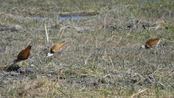 2017-06-namibia-caprivi-buffalo-core-area-jacana-africana