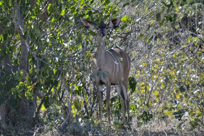 2017-06-namibia-caprivi-buffalo-core-area-kudu-1