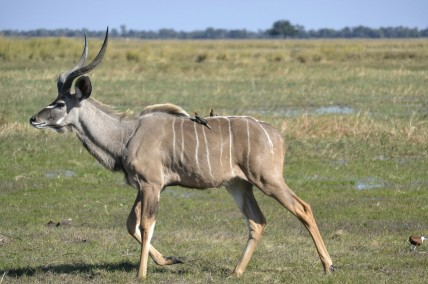 Kudu en Buffalo Core Area