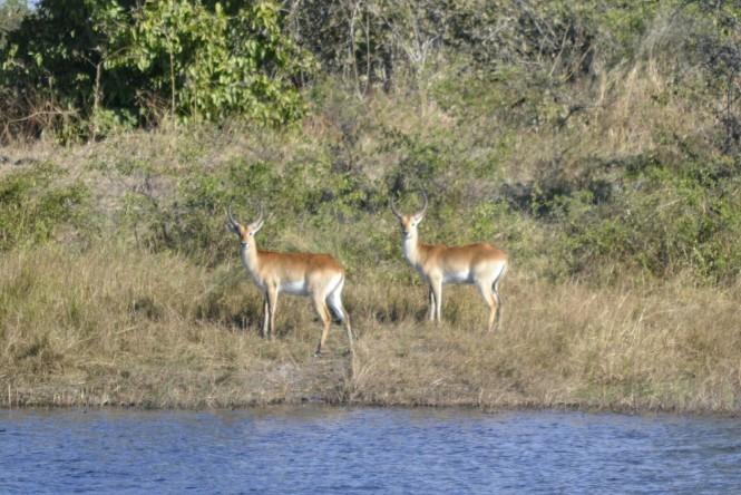 2017-06-namibia-caprivi-mudumu-antilope-lechwe-1
