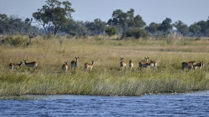 2017-06-namibia-caprivi-mudumu-antilope-lechwe-2