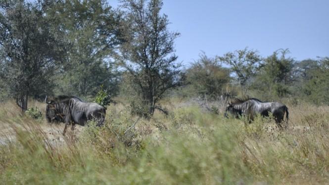 2017-06-namibia-caprivi-mudumu-blue-wildebeest-1