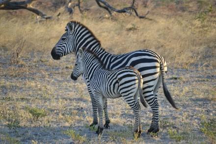 Cebras en Mudumu