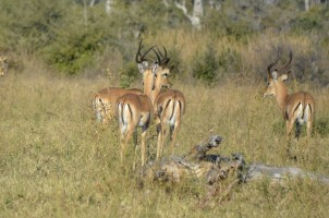 Impalas en Mudumu