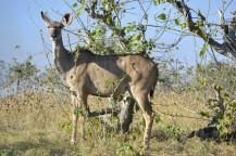 Kudu en Mudumu